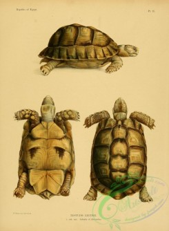 turtles-00209 - testudo leithii