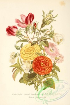 violet-00218 - White Violet, Small Bindweed, Red and white Rosebud, Asiatic Ranunculus