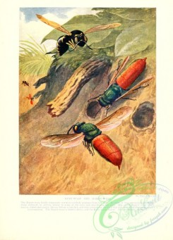 wasps-00009 - 050-Ruby-Wasp, Mason-Wasp