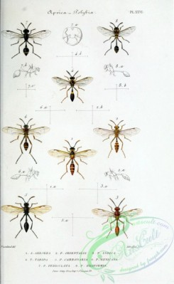 wasps-00191 - 034-apoica, polybia