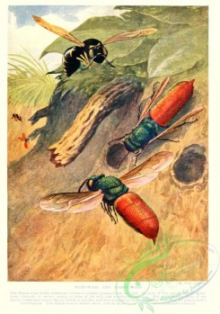 wasps-00261 - Ruby-Wasp, Mason-Wasp
