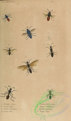 wasps-00290 - parnopes, chrysis, stilbum, formica, mutilla
