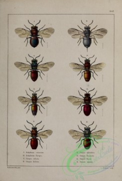 wasps-00328 - 092-hedychrum, chrysis
