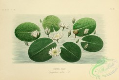 water-lily_nymphaea-00039 - nymphaea alba [2910x1967]