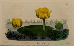 water-lily_nymphaea-00061 - Yellow Water-Lily, nuphar lutea [2686x1669]