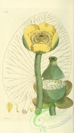 water-lily_nymphaea-00064 - nymphaea lutea [1902x3416]