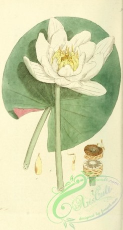 water-lily_nymphaea-00065 - nymphaea alba [1843x3442]