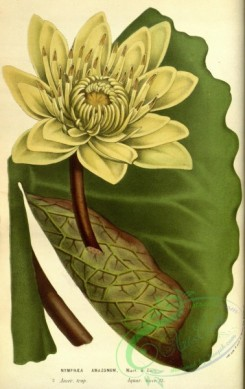 water-lily_nymphaea-00109 - nymphaea amazonum [2181x3455]