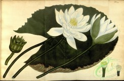 water-lily_nymphaea-00113 - nymphaea lotus, Aegyptian Lotus [6156x4024]