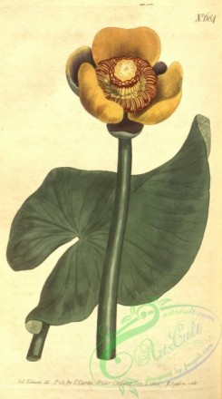 water-lily_nymphaea-00126 - 684-nymphaea advena, Three-coloured Water-Lily [1790x3208]