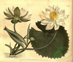 water-lily_nymphaea-00127 - 797-nymphaea lotus, Aegyptian Water-Lily or Lotus [3939x3379]