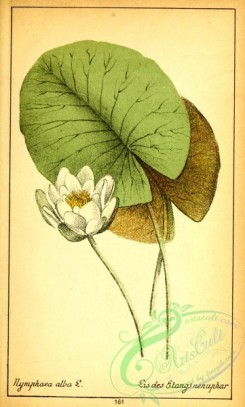 water-lily_nymphaea-00163 - nymphaea alba [1964x3260]