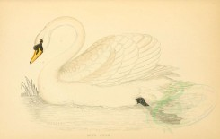 waterfowls-00011 - MUTE SWAN [3489x2212]