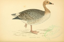 waterfowls-00012 - PINK-FOOTED GOOSE [3459x2284]