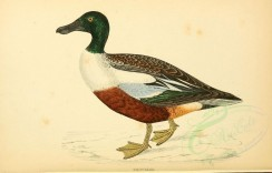 waterfowls-00017 - SHOVELER [3463x2212]