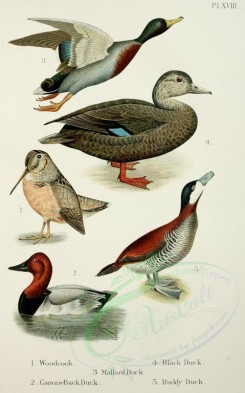 waterfowls-00022 - Canvas-Back Duck, Mallard Duck, Black Duck, Ruddy Duck [2348x3757]