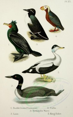 waterfowls-00023 - Double-crested Cormorant, Loon, Brunnich's Murre, Puffin, King Eider [2348x3757]