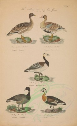 waterfowls-00025 - Bean Goose, Greater White-fronted Goose, Bernicle Goose, Brent Goose, Red-breasted Goose [4536x7427]