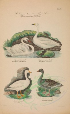 waterfowls-00026 - Mute Swan, Hooper or Whistling Swan, Snow Goose, Grey Lag Goose [4536x7427]