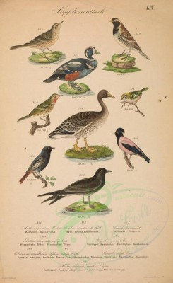 waterfowls-00028 - Rock Pipit, Lark-heeled Bunting, Harlequin Duck, anthus rufigularis (L), Common Firecrest, Pink footed goose, Black Redtail, Rosy Starling, Fork-Tailed Petrel [4591x7500]