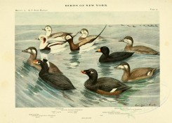 waterfowls-00037 - OLDSQUAW, SURF SCOTER, AMERICAN SCOTER, WHITE-WINGED SCOTER [3166x2271]