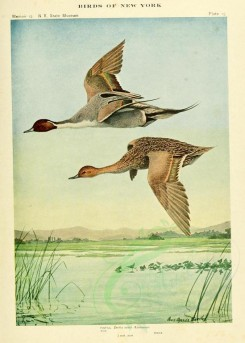 waterfowls-00038 - PINTAIL [2271x3174]