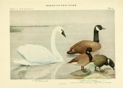 waterfowls-00044 - WHISTLING SWAN, CANADA GOOSE, BRANT, BLACK BRANT [3166x2271]