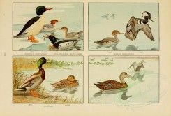 waterfowls-00049 - AMERICAN MERGANSER, HOODED MERGANSER, MALLARD, BLACK DUCK [3790x2565]