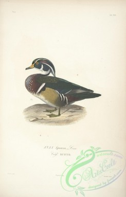 waterfowls-00258 - Wood Duck