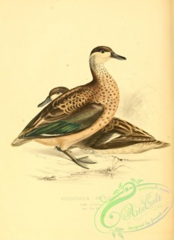 waterfowls-00303 - Hottentot Teal