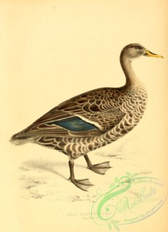waterfowls-00304 - Yellow-billed Teal