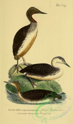 waterfowls-00377 - Red-throated Loon