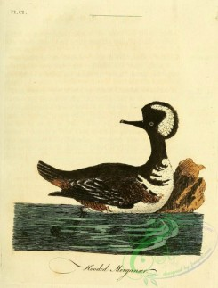 waterfowls-00663 - Hooded Merganser