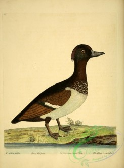 waterfowls-00830 - Black Crested Duck