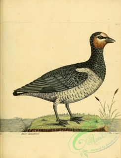 waterfowls-00833 - Canada Goose