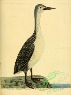 waterfowls-00836 - Greatest speckled Diver or Loon