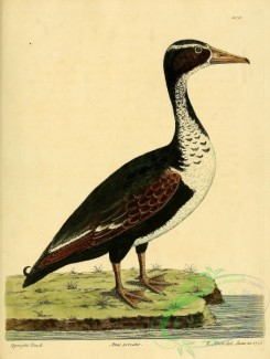 waterfowls-00857 - Upright Duck