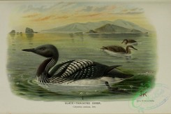 waterfowls-01002 - BLACK-THROATED DIVER