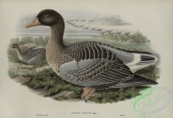 waterfowls-01137 - 524-Anser ferus