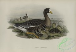 waterfowls-01140 - 527-Anser albifrons