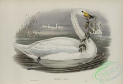 waterfowls-01144 - 532-Cygnus ferus, Wild Swan, or Whooper