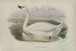 waterfowls-01145 - 533-Cygnus minor, Bewick's Swan