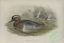 waterfowls-01150 - 540-Querquedula circia, Garganey
