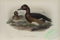 waterfowls-01152 - 544-Nyroca leucophthalmos, White-eyed, or Ferruginous Duck