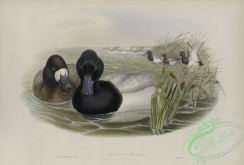 waterfowls-01155 - 547-Fuligula marila, Scaup Duck