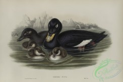 waterfowls-01159 - 552-Oidemia fusca, Velvet Scoter