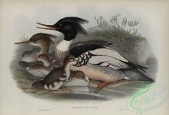 waterfowls-01164 - 558-Mergus serrator, Merganser