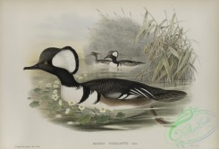 waterfowls-01165 - 559-Mergus cucullatus, Hooded Merganser