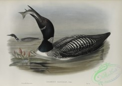 waterfowls-01172 - 566-Colymbus glacialis, Great Northern Diver