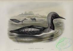 waterfowls-01173 - 567-Colymbus arcticus, Black-throated Diver